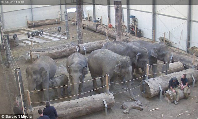 Elephants grieve after the death of a baby Elephant