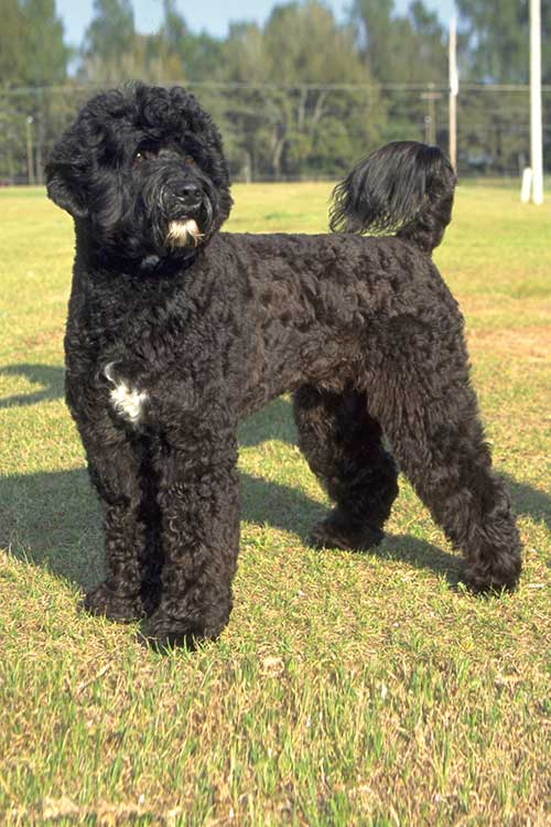 11. Portuguese Water Dog (4.6 stars)