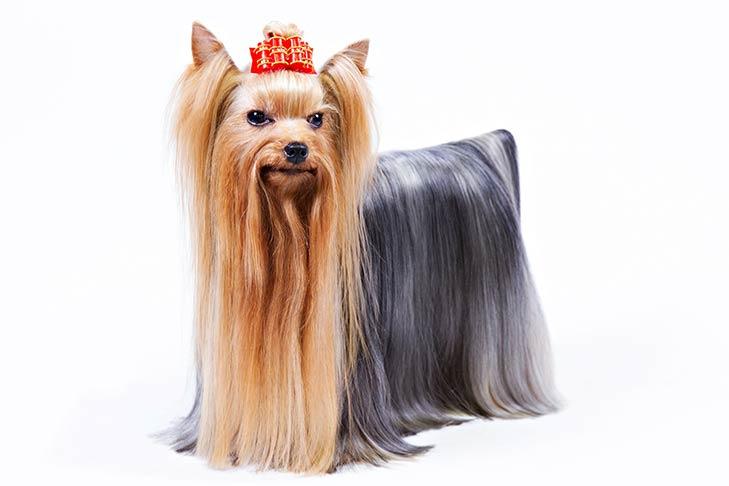 5. Yorkshire Terrier (4.7 stars)