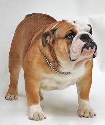 8. Bulldog (4.7 stars)