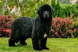 3. Newfoundland Dog (4.5 stars)
